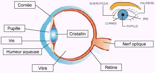 atomie de l'oeil